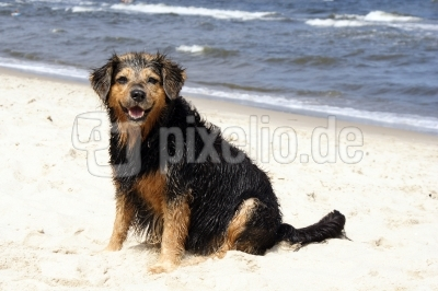 Hund am Strand 3