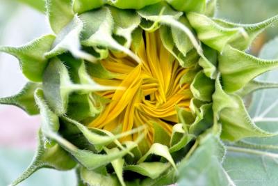 Sonnenblume Blüte ungeöffnet