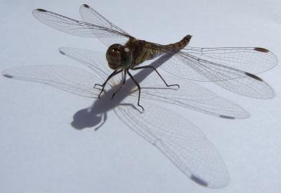 Makro-Libelle