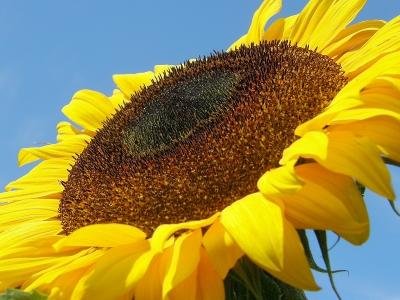 Sonnenblume vor strahlenden Himmelsblau