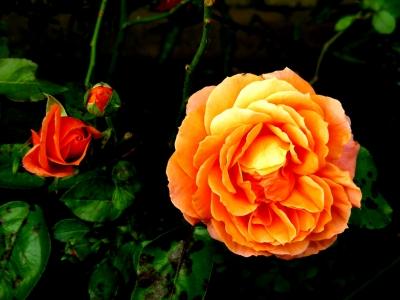 prachtvolle orangefarbene Rose