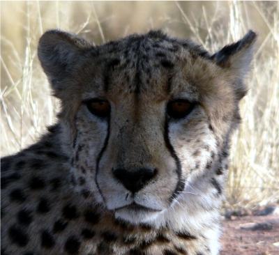 Porträt einer Gepardin