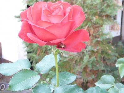 die Spinne in der Rose