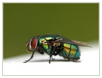 Fliege im Metalliclook