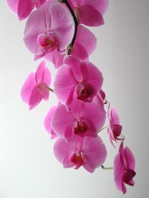Orchideenrispe_pink