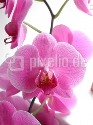 Orchidee_pink