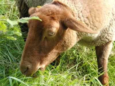 Kluges Schaf
