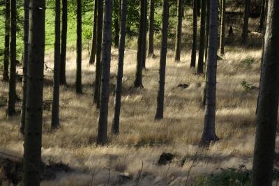 Fichtenwald im Herbst