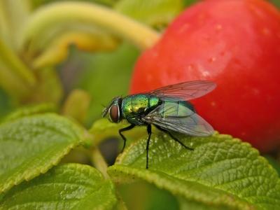 Fliege an Hagebutte