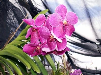 weiss lila Orchidee 3