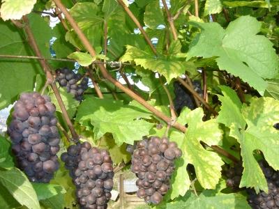 reife Trauben in den Weinbergen von Heidelberg