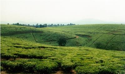 Teeplantage in Südtanzania