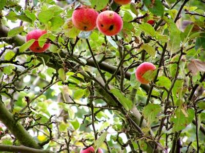 Die letzten Äpfel 2