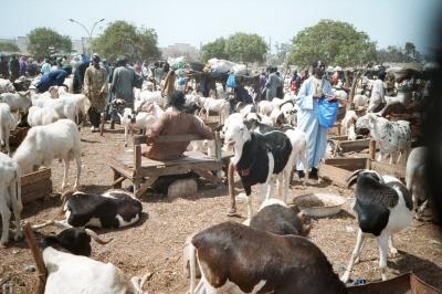Viehmarkt in Dakar