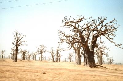 Baobabs im Senegal
