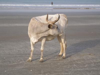 Kuh am Strand 1