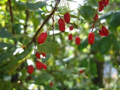 Rote Beeren im Sonnentau