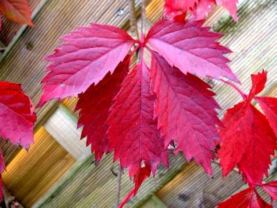 Herbst 08_0015 rotes Blatt