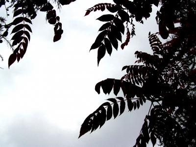 Schatten - Blätter