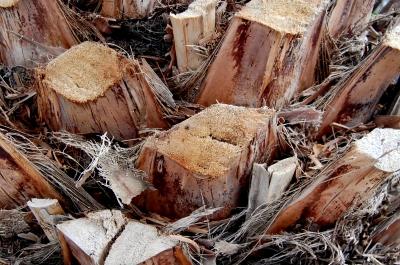 abgesägte Kokospalme