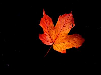 Ahornblatt vor Nachthimmel