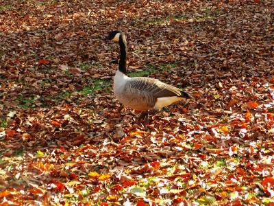 Kanadagans auf Herbstwiese