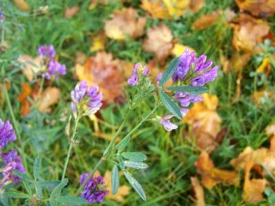 Lila Blümchen im Herbst
