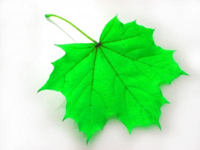 Ahorn grün