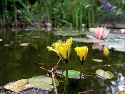 Teich mit Seekannen und Seerose