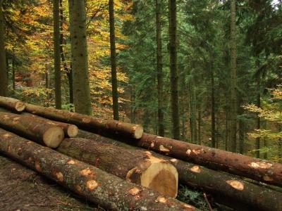 Holzernte im Herbstwald