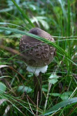 parasol :: gemeiner riesenschirmling :: macrolepiota procera (2)