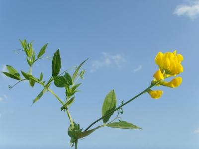 Wiesen Blatterbse (Lathyrus pratensis)