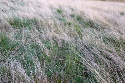 Sturmgepeitschtes Gras