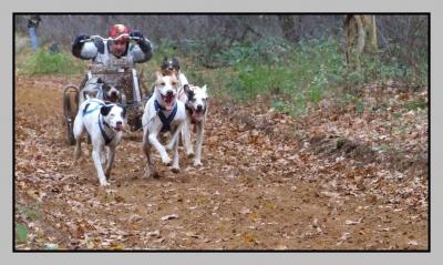 Schlittenhunde - Rennen