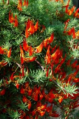 Gefleckter Hornklee (Lotus maculatus)