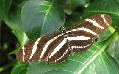 Im Dschungel: Schmetterling braum crème