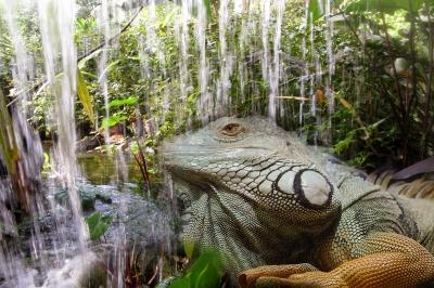 Auch Leguane geniessen Feuchtigkeit