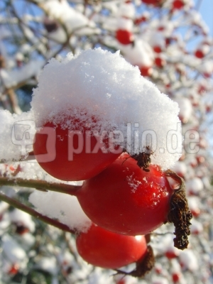 Schneehütchen-Hagebutten