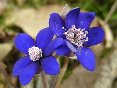 dunkelblaues Leberblümchen