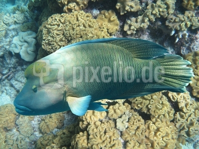 Napoleon-Fisch (Cheilinus undulatus)