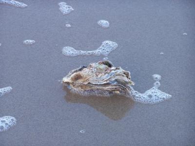 Japanische Auster