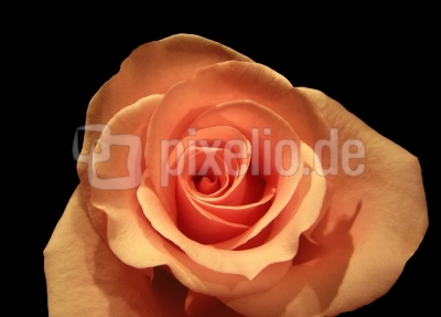 "Rosa-""Roth"""