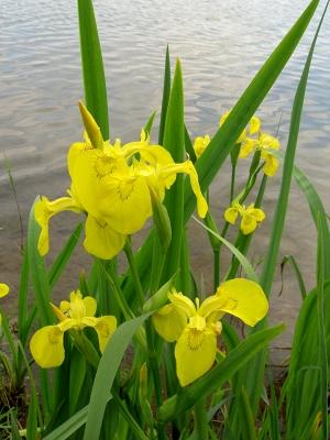 Wasserlilien 1
