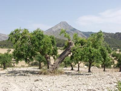 schöner, alter Olivenbaum