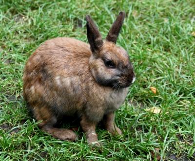 Kaninchen, braun