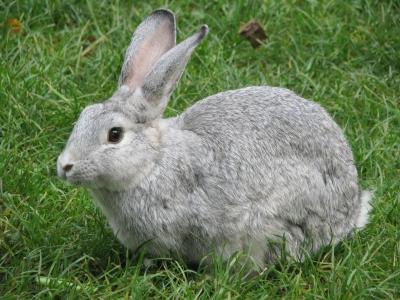 Kaninchen, grau