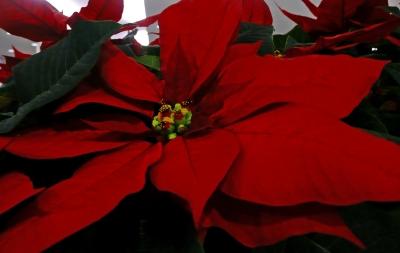 Weihnachtssternblüte