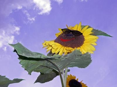 Sonnenblume beim Sonnenbaden..