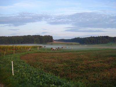 kühe am Morgen auf der Weide