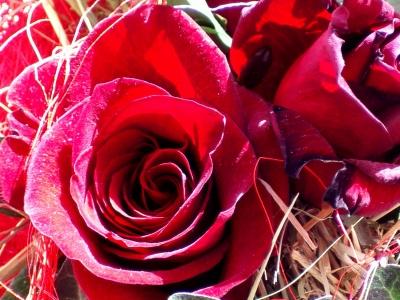 rosen im stroh